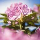 rhododendron flower