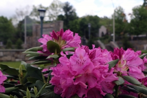 Rhododendrons on campus
